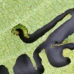 Aproceros leucopoda