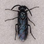 Arge berberidis male