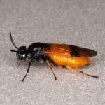 Arge cyanocrocea female