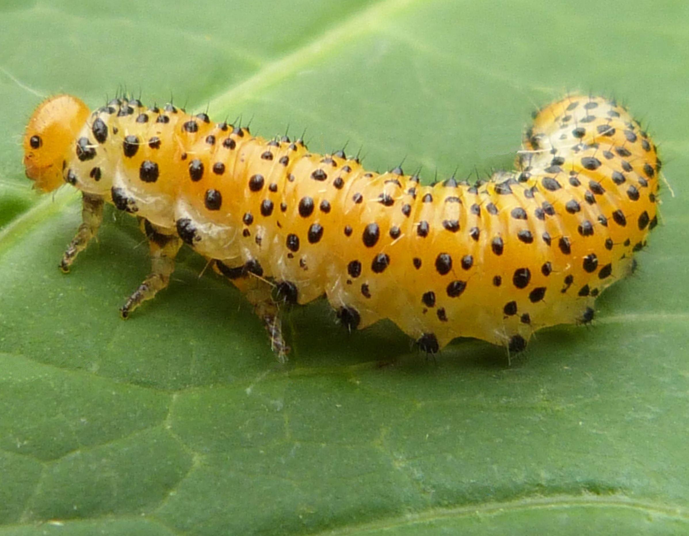 Arge ochropus larva Credit: Graham Calow
