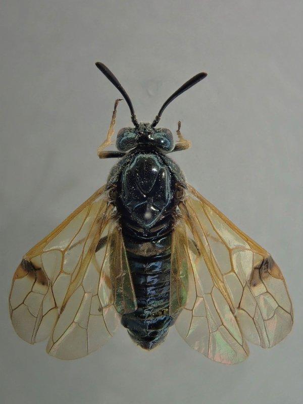 Arge ustulata female