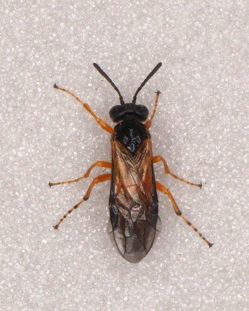 Athalia bicolor