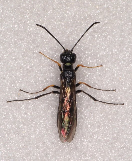 Cephus pygmaeus female