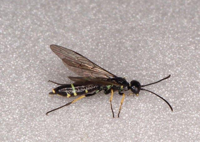 Cephus spinipes female