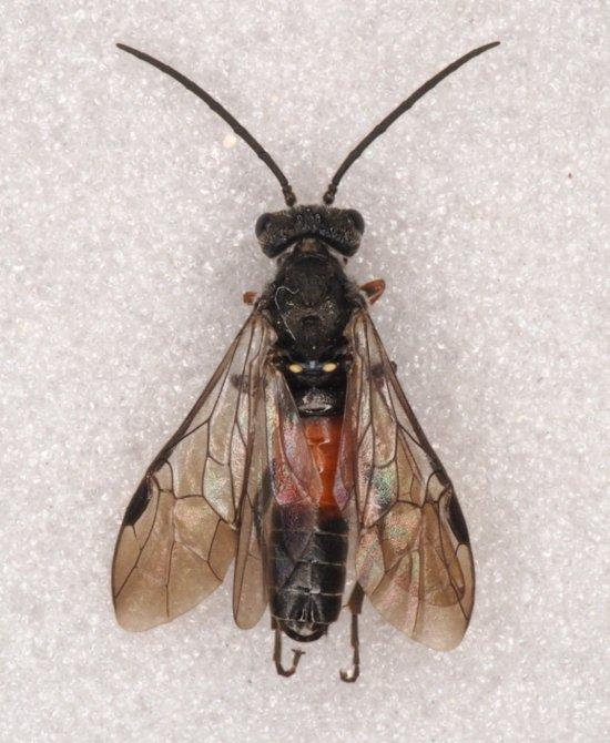 Dolerus bimaculatus male
