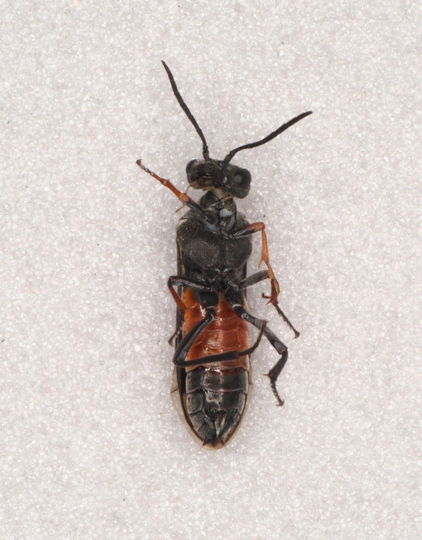 Dolerus bimaculatus female