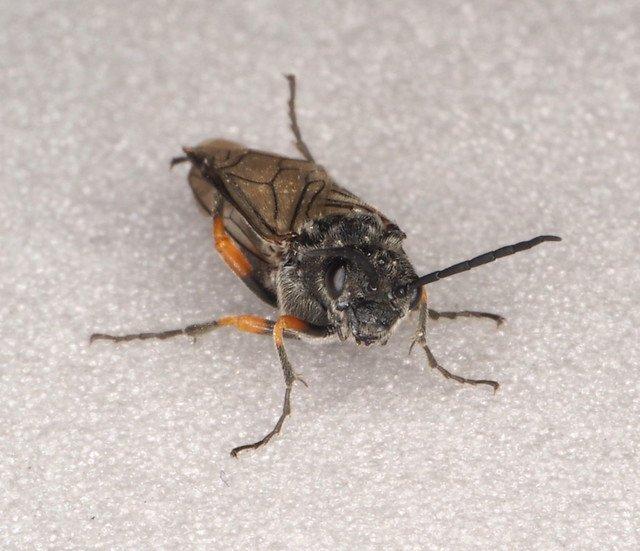 Dolerus gonager female