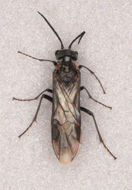 Dolerus haematodes female