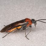 Dolerus madidus female