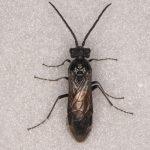 Dolerus madidus male