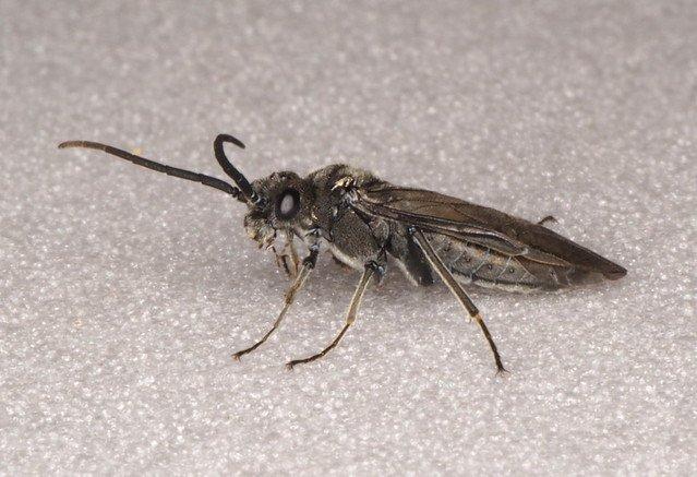 Dolerus nigratus male