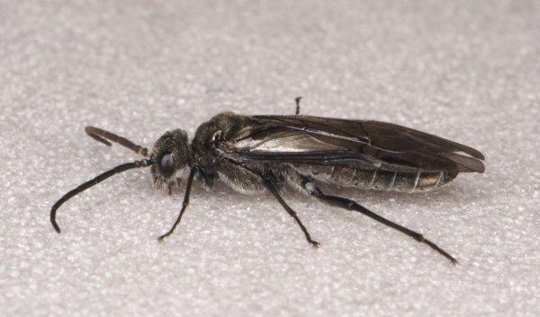 Dolerus varispinus male