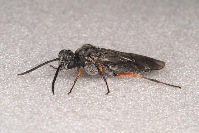Dolerus vestigialis female