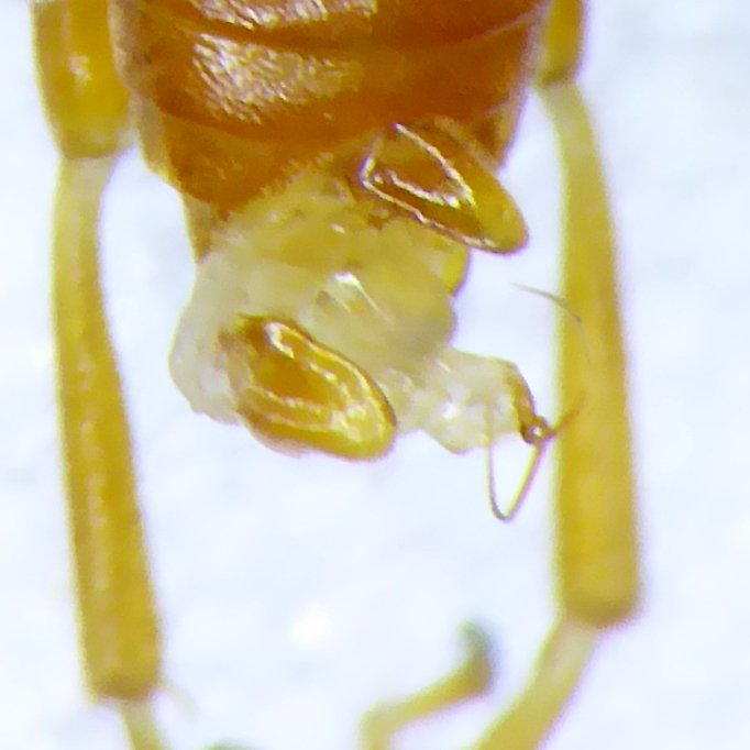 Hoplocampa flava male penis valves