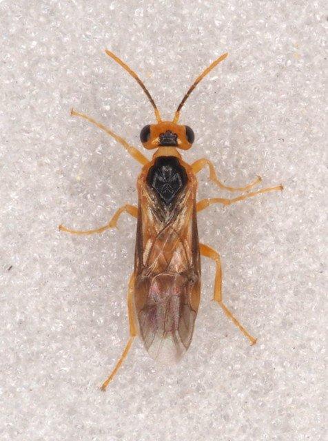 Hoplocampa pectoralis male