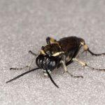 Macrophya albicincta