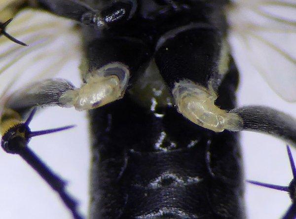 Macrophya alboannulata female