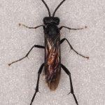 Macrophya annulata female