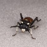 Macrophya duodecempunctata female