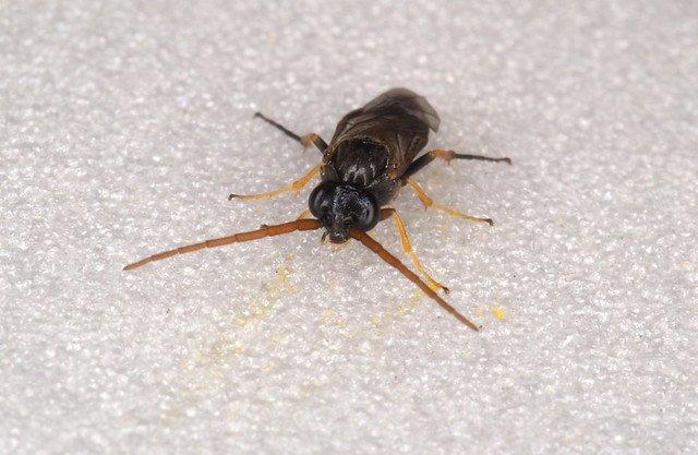 Pristiphora armata male