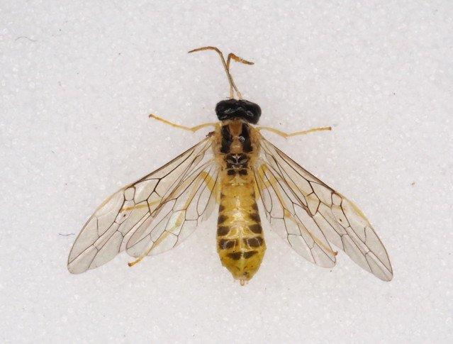 Stromboceros delicatulus female