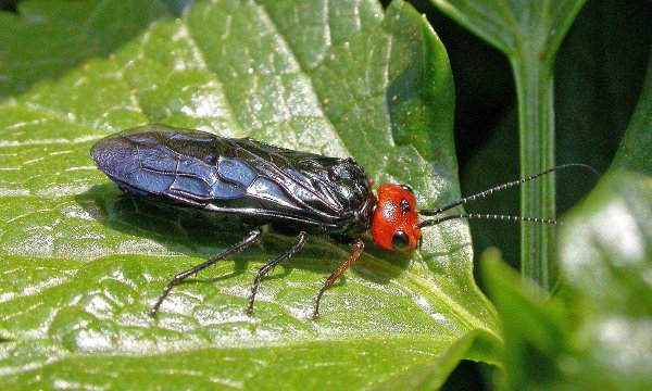 Acantholyda erythrocephala female Credit Paul Kitchener