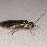 Cephalcia lariciphila female