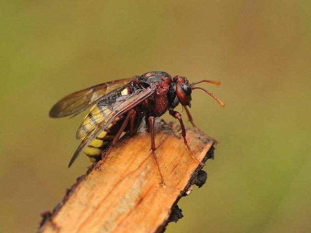 Cimbex connatus female Credit Tim Worfolk