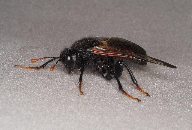 Cimbex femoratus male Credit Andrew Green