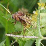 Cimbex luteus Credit Andrew Green