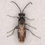 Dolerus ferrugatus male Credit Andrew Green