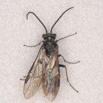 Dolerus haematodes male Credit Andrew Green