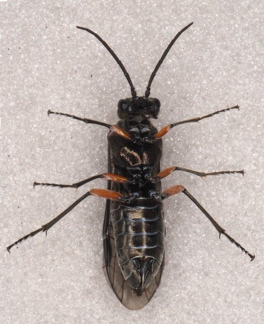 Dolerus schmidti female
