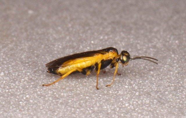 Harpiphorus lepidus female
