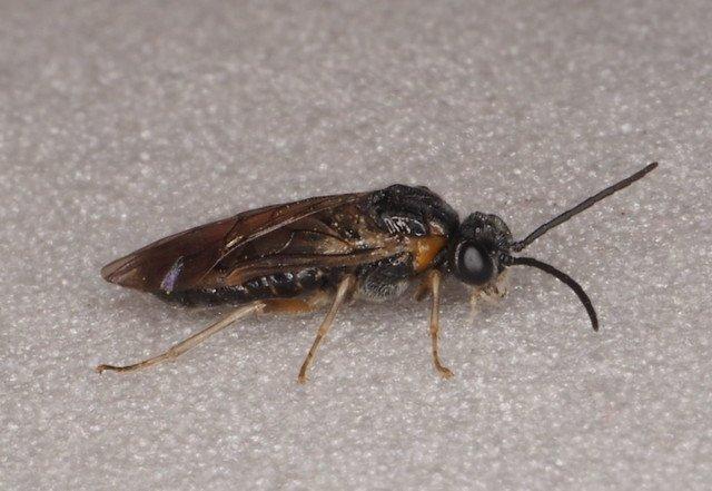 Mesoneura opaca female
