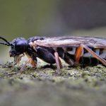 Monosoma pulveratum female Credit Ian Andrews