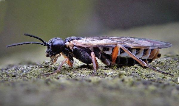 Monsoma pulveratum female Credit Ian Andrews