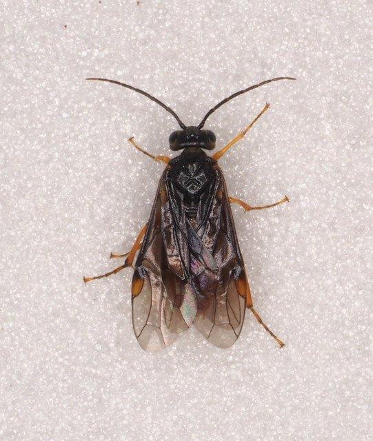Nematinus fuscipennis female Credit Andrew Green