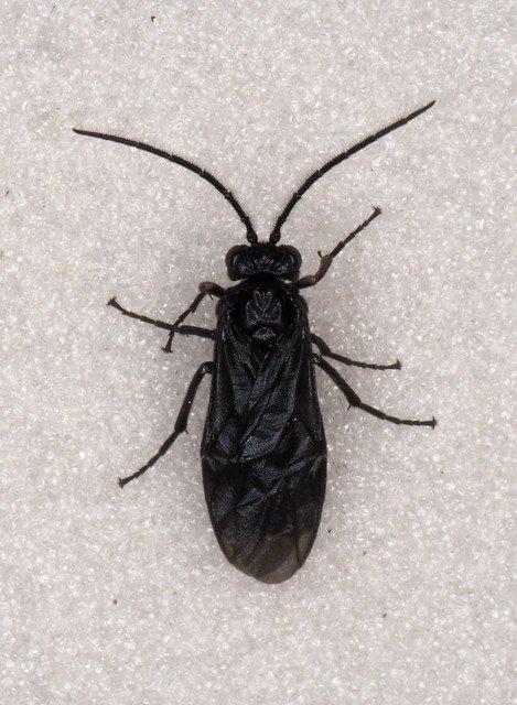 Phymatocera aterrima male