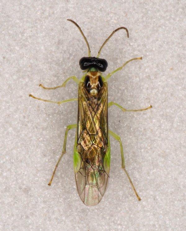 Stromboceros delicatus female Credit Andrew Green