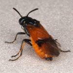 Arge cyanocrocea female (dark form) Credit Andrew Green