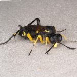 Macrophya montana female Credit Andrew Green