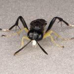 Macrophya montana male Credit Andrew Green