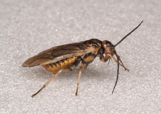 Pachynematus clitellatus female Credit Andrew Green