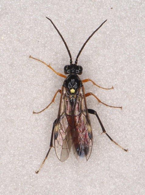 Tenthredopsis coqueberti male Credit Andrew Green