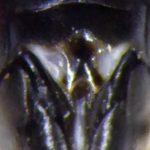 Tenthredopsis litterata female Credit Andrew Green