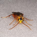 Tenthredopsis litterata male Credit Andrew Green