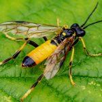 Tenthredo maculata male Credit John Barnard