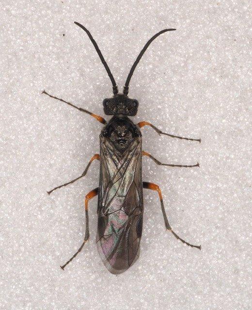 https://www.sawflies.org.uk/dolerus-poodolerus-puncticollis