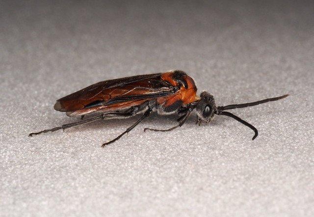 Dolerus triplicatus female Credit Andrew Green